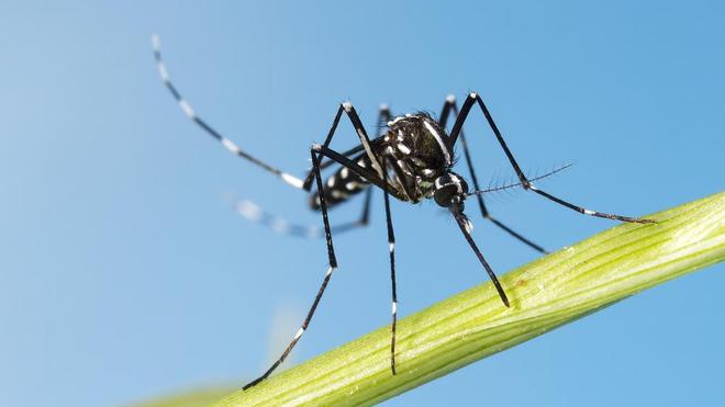 Le moustique tigre a refait son apparition sur le sol algérien (photo d'illustration)