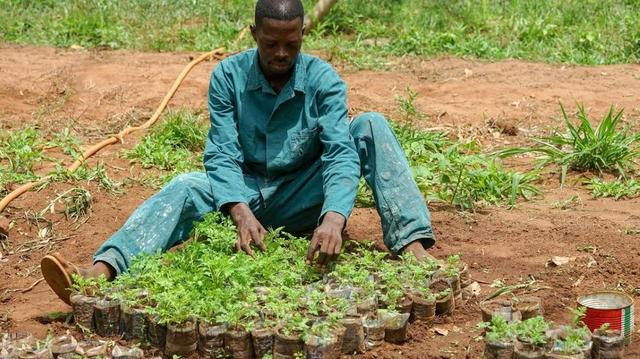 Coronavirus : de Madagascar à la Guinée équatoriale, l'artemisia a le vent en poupe