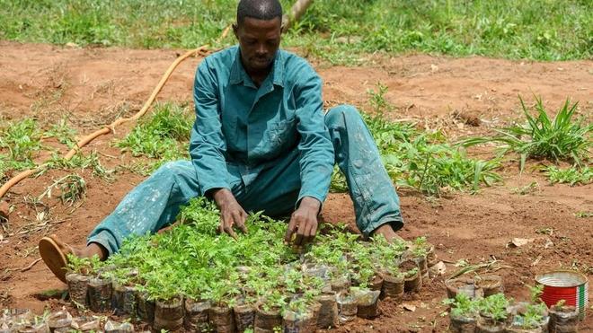 De nombreux Africains se ruent sur l'artemisia pour se protéger du coronavirus (photo d'illustration)