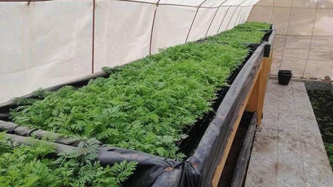 L'artemisia est une plante à l'effet thérapeutique reconnu contre le paludisme (photo d'illustration)