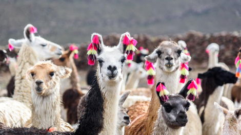 Et si le meilleur moyen de lutter contre le coronavirus venait... du lama ?