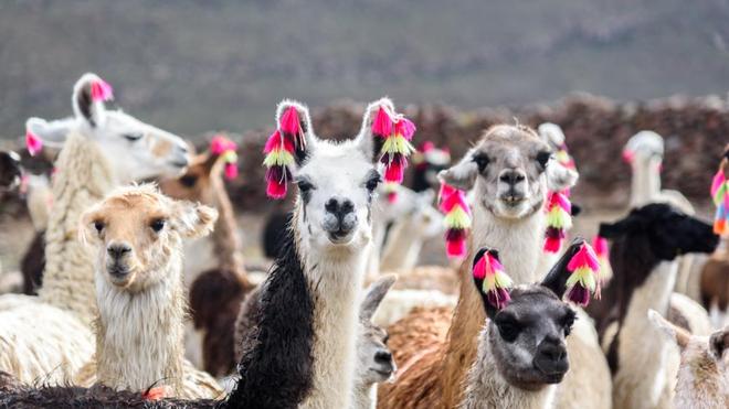 Selon des chercheurs, le lama pourrait permettre de trouver un traitement contre le Covid-19 (photo d'illustration)