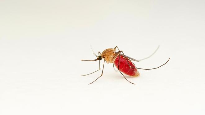 Certains moustiques du genre anophèles peuvent transmettre le paludisme (Illustration)