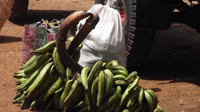 La banane plantain est excellente pour la santé