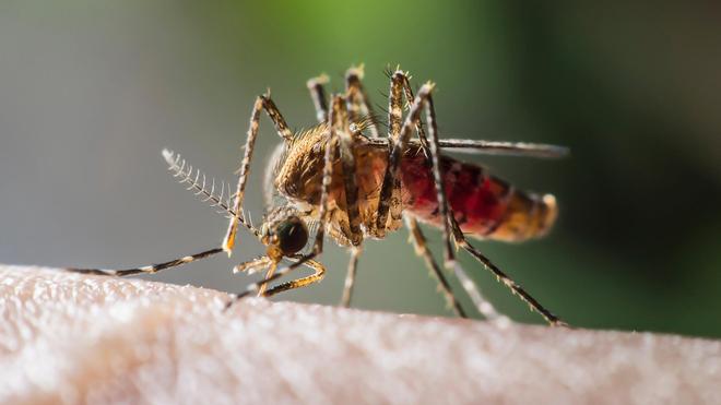 Seulement certaines femelles du genre Anopheles transmettent le paludisme (Illustration)