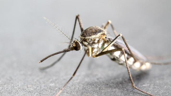 Certaines femelles de l'espèce Anophèles peuvent transmettre le paludisme