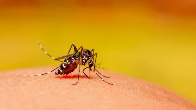 Le moustique Aedes aegypti est le principal vecteur de la dengue