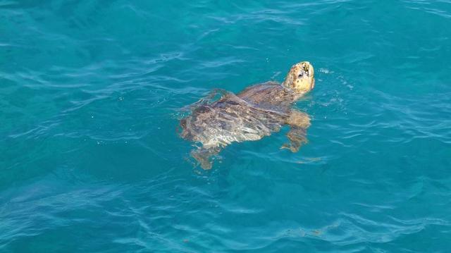 En Tunisie, on s'active pour protéger les tortues
