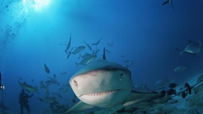 Le requin bouledogue est l'un des plus dangereux prédateurs à La Réunion