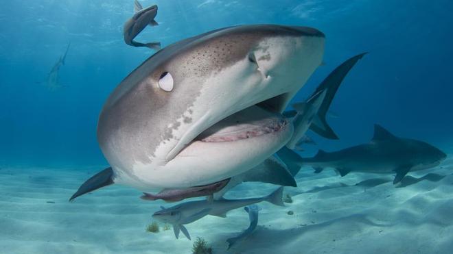 Le requin-tigre est l'un des plus des requins les plus agressifs à La Réunion
