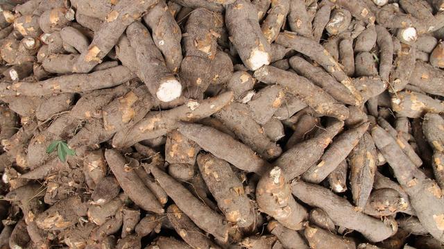 Le Gabon lutte contre les maladies du manioc