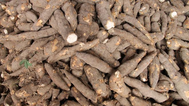 Le manioc est menacé par plusieurs maladies en Afrique (Illustration)