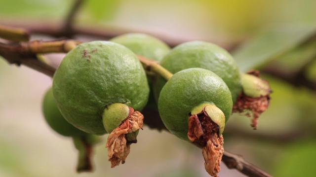 Goyave : Un fruit tropical aux mille vertus
