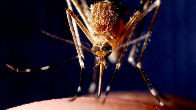 Le moustique du genre anophèle est le principal vecteur du palu
