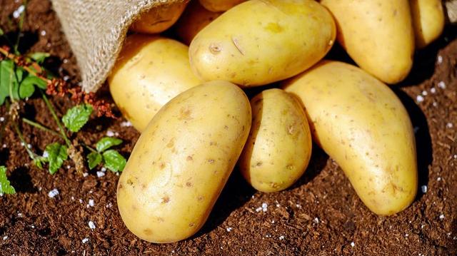 Pesticides interdits : 136 tonnes de pommes de terre détruites