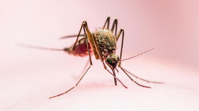La fièvre Zika est transmise par les piqûres infectées des moustiques de l'espèce Aedes