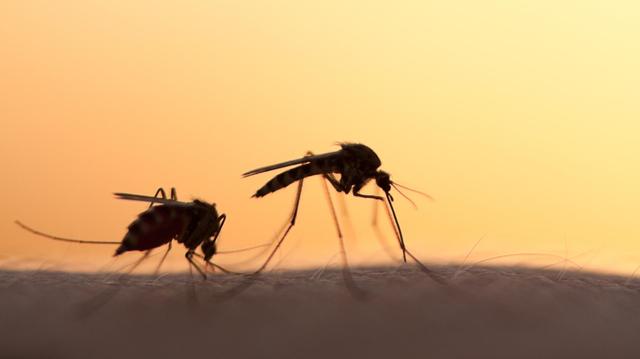 Fièvre jaune, dengue, Zika...  Le cauchemar des moustiques Aedes