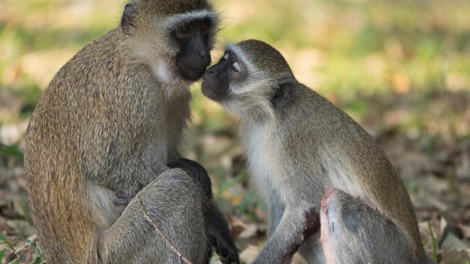 Les singes peuvent transmettre la variole