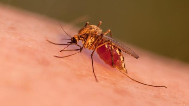 La femme du moustique anophèle est vecteur de transmission du parasite qui déclenche le paludisme.