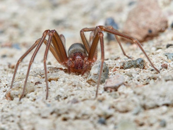 L'araignée violon ne mesure pas plus de 2cm