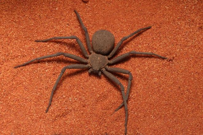 L'araignée des sables vit dans les déserts