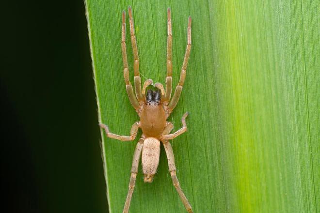 L'araignée jaune
