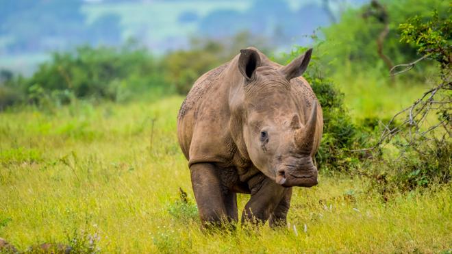 Longtemps pensé disparu, le rhinocéros blanc est aujourd'hui très protégé