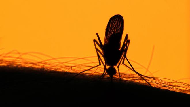 Le moustique tigre se nourrit surtout le soir
