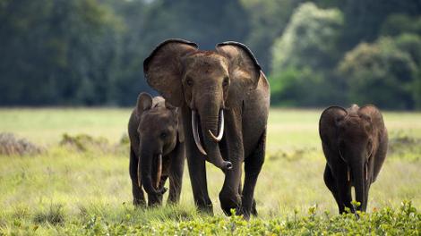 Biodiversité : L'éléphant de forêt d'Afrique en danger d'extinction