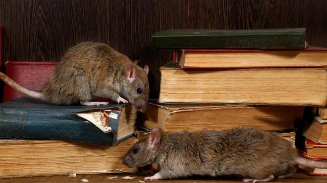 Les puces de certains rats infectés peuvent transmettre la peste (photo d'illustration)