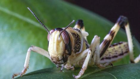 Le criquet pèlerin, l'insecte qui affame l'Afrique