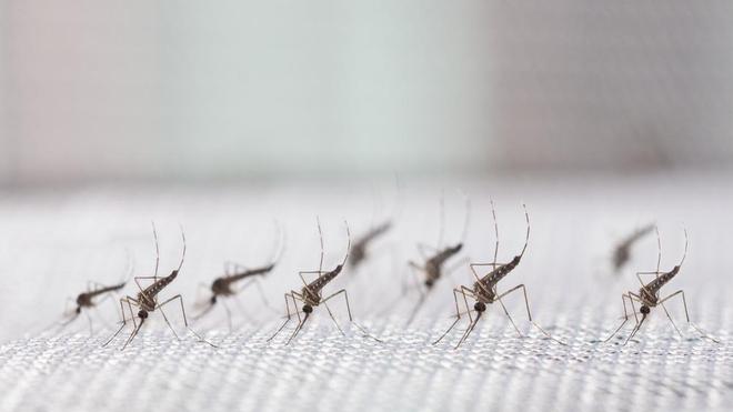 Certains moustiques du genre Aedes peuvent transmettre la fièvre jaune (photo d'illustration)