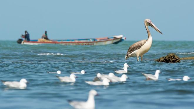 Au Sénégal, des centaines de pélicans sont morts de la grippe aviaire (photo d'illustration)