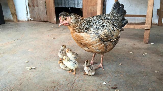 La grippe aviaire oblige le Sénégal à abattre des milliers de volailles