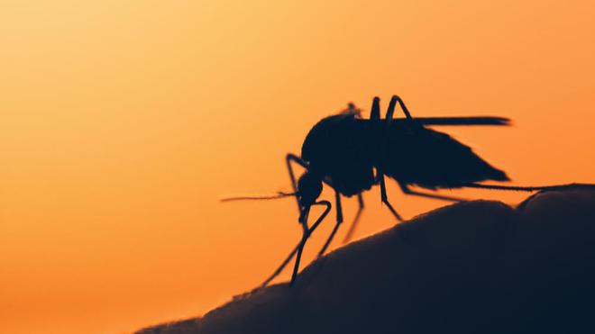 Certains moustiques infectés du genre Anophèles peuvent transmettre le paludisme (photo d'illustration)