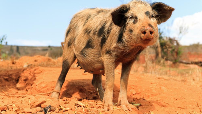 Un porc à Madagascar (Illustration)