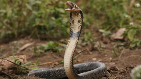 Les bons réflexes à avoir en cas de morsure de serpent