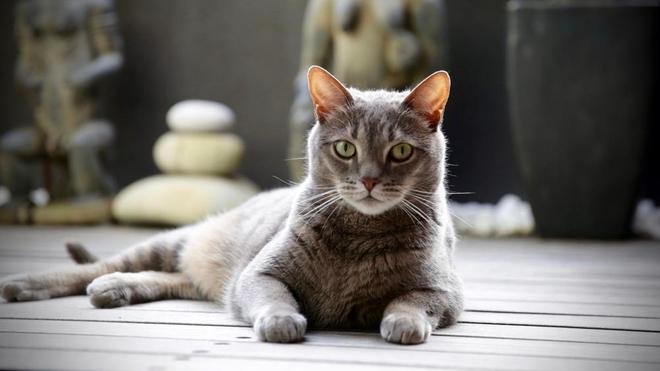 Le chat est un animal de compagnie populaire (photo d'illustration)