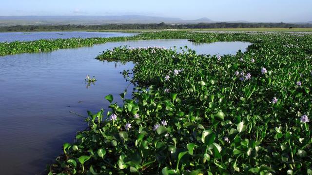 Paludisme : La jacinthe d'eau, si belle mais si dangereuse