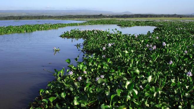 La prolifération rapide de la jacinthe d'eau peut asphyxier les poissons et favoriser le paludisme (photo d'illustration)