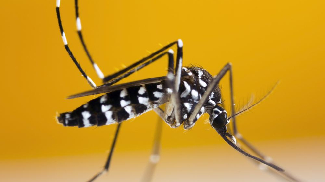 Le moustique tigre a été repéré dans 23 communes de La Réunion (photo d'illustration)