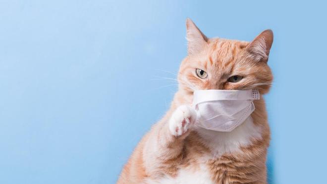 Certains chats ont été infectés au coronavirus par un contact étroit avec des humains qui le sont eux-mêmes (Illustration)