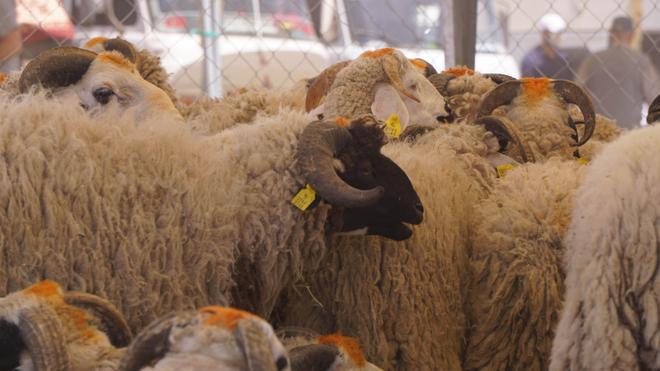 Des moutons dans un souk à Casablanca, au Maroc